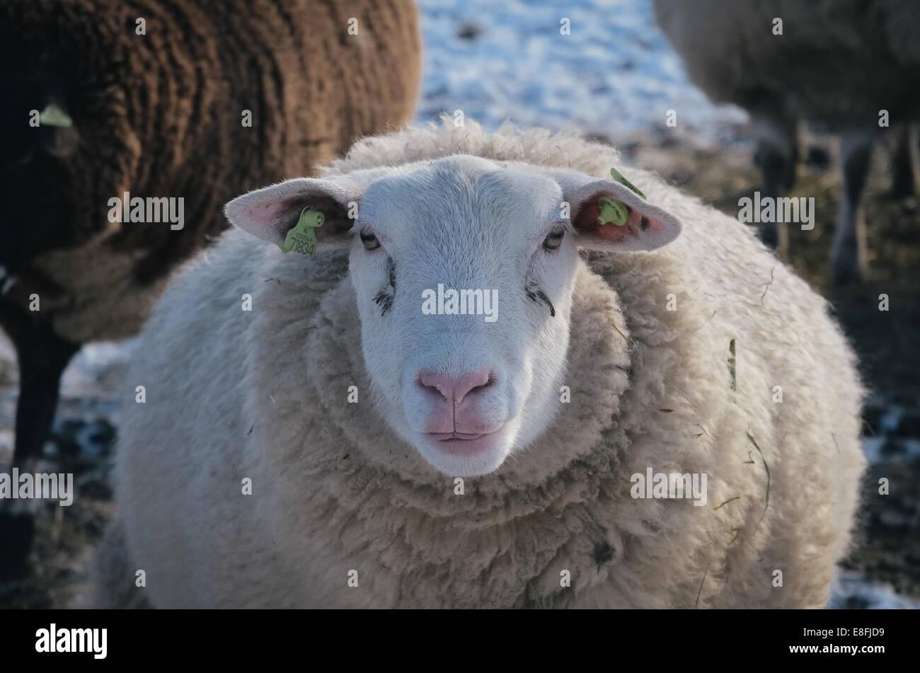 Portrait d'un mouton Photo Stock