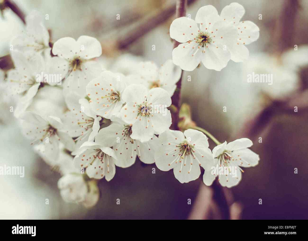 Close-up of Cherry Blossom flowers Photo Stock