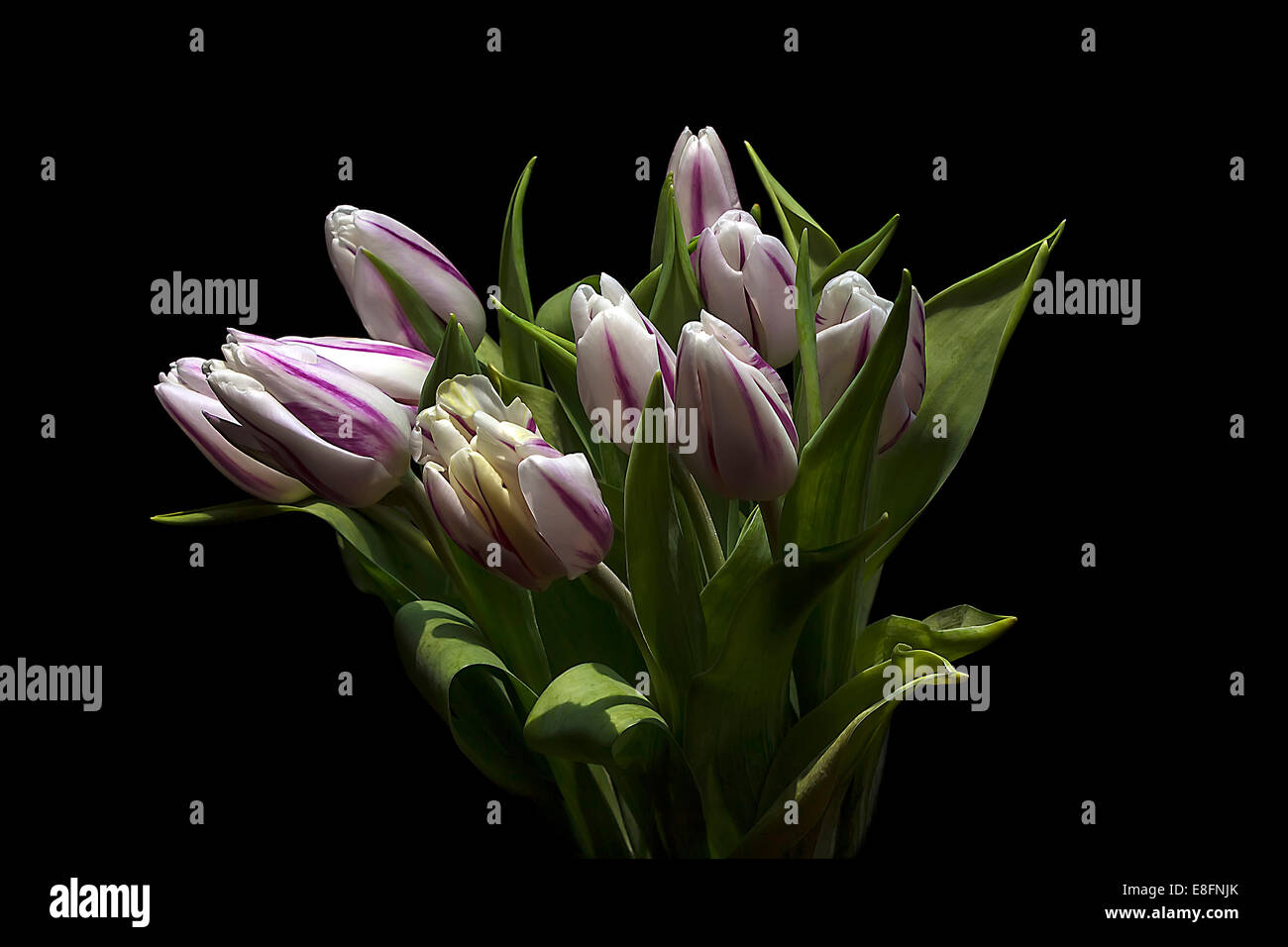 Jaguar Tulipes, studio shot Banque D'Images