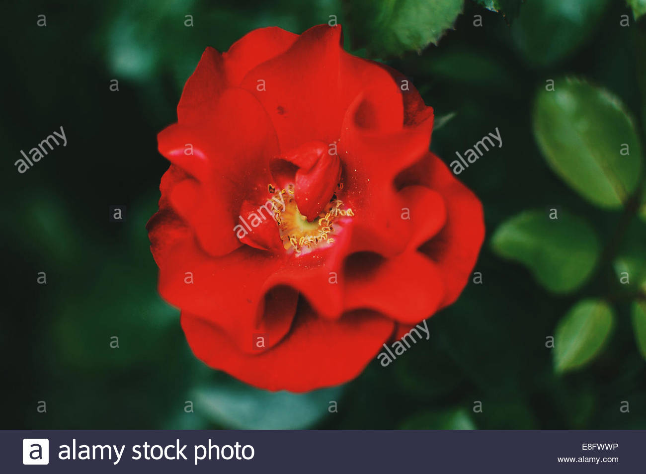 Close-up of red rose Photo Stock