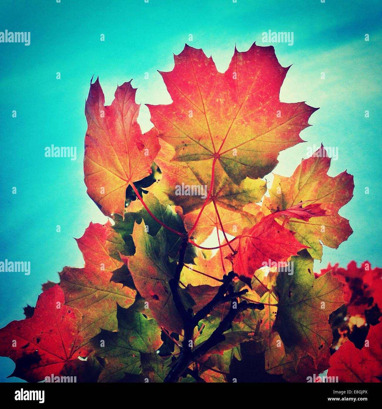 Multi-couleur feuilles d'automne contre le ciel bleu Photo Stock