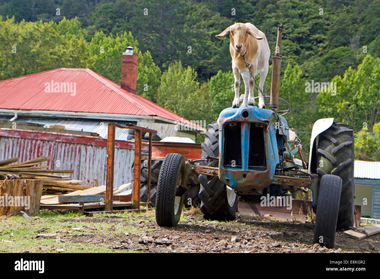 Une chèvre watches le monde passer par du haut d'un tracteur à côté du sentier de la rampe Photo Stock