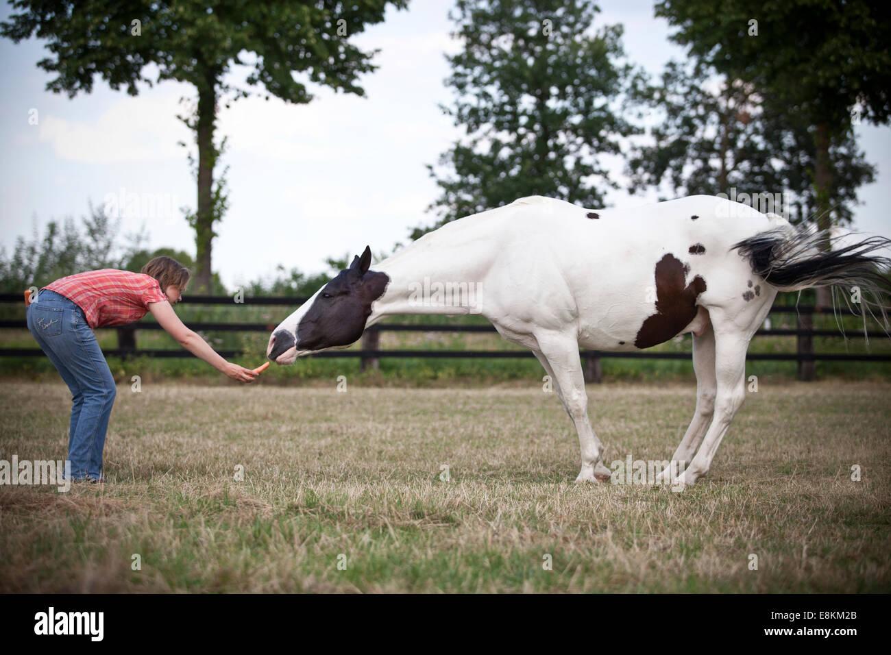 Paint horse, noir, Tobiano, hongre circus 'leçon' de chèvre Banque D'Images
