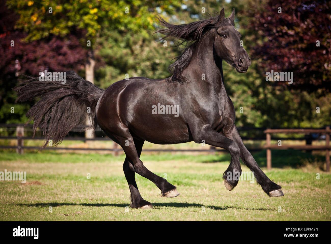 Cheval frison, noir, Bai, au galop on meadow Banque D'Images