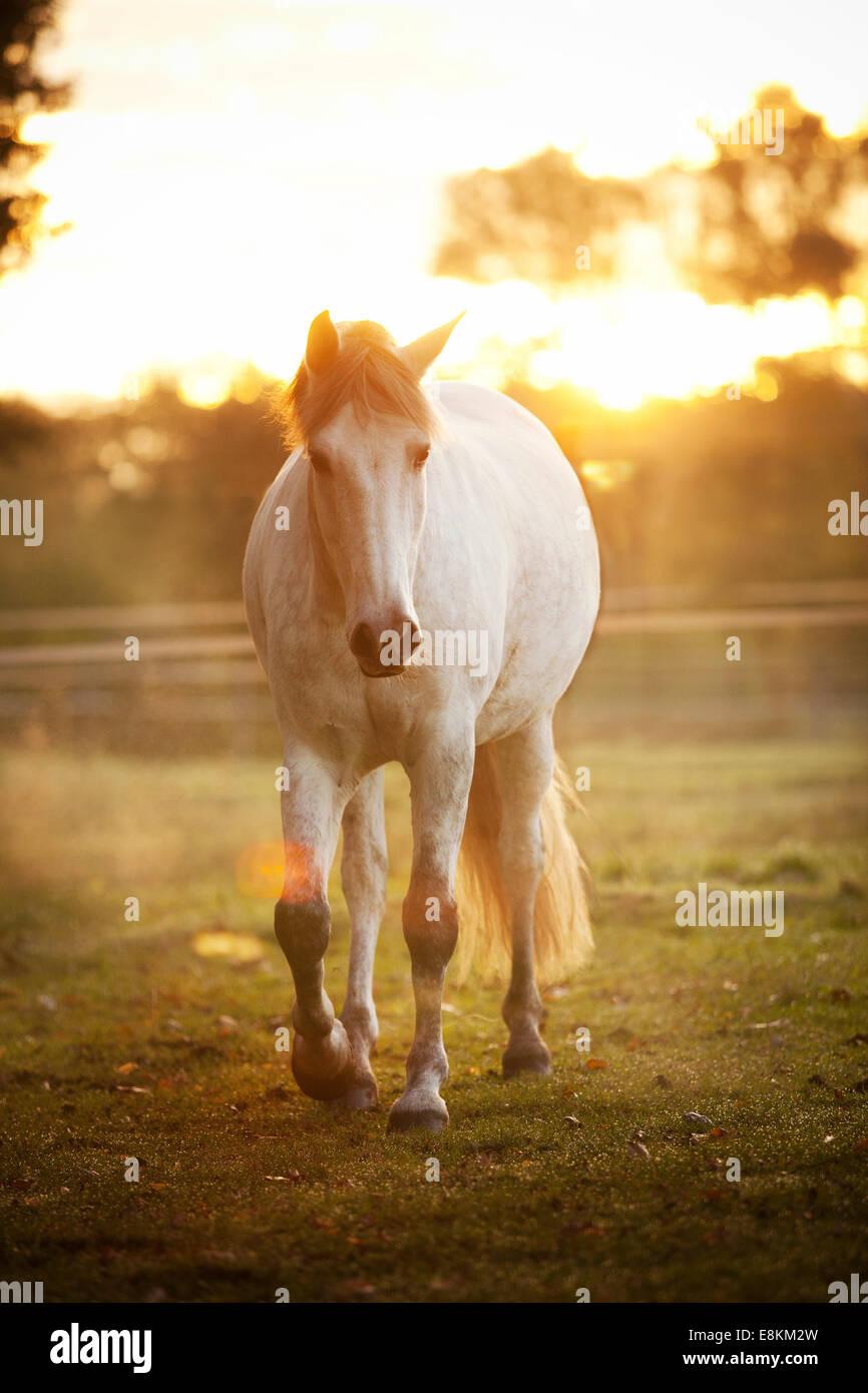 Gris pommelé, PRE hongre, sur prairie dans la lumière du matin Banque D'Images