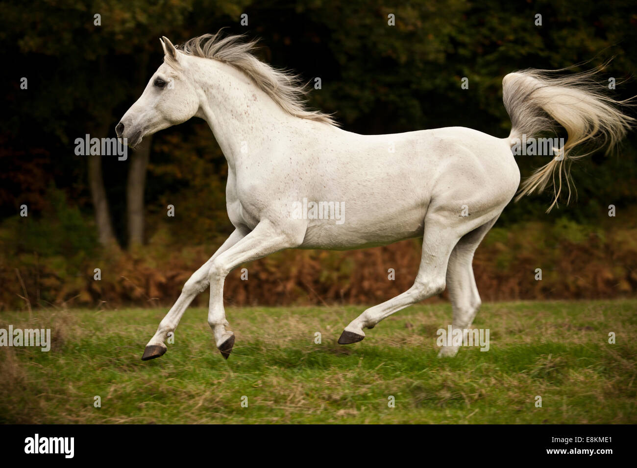 Arabe pur-sang hongre, cheval blanc, le galop on meadow Banque D'Images