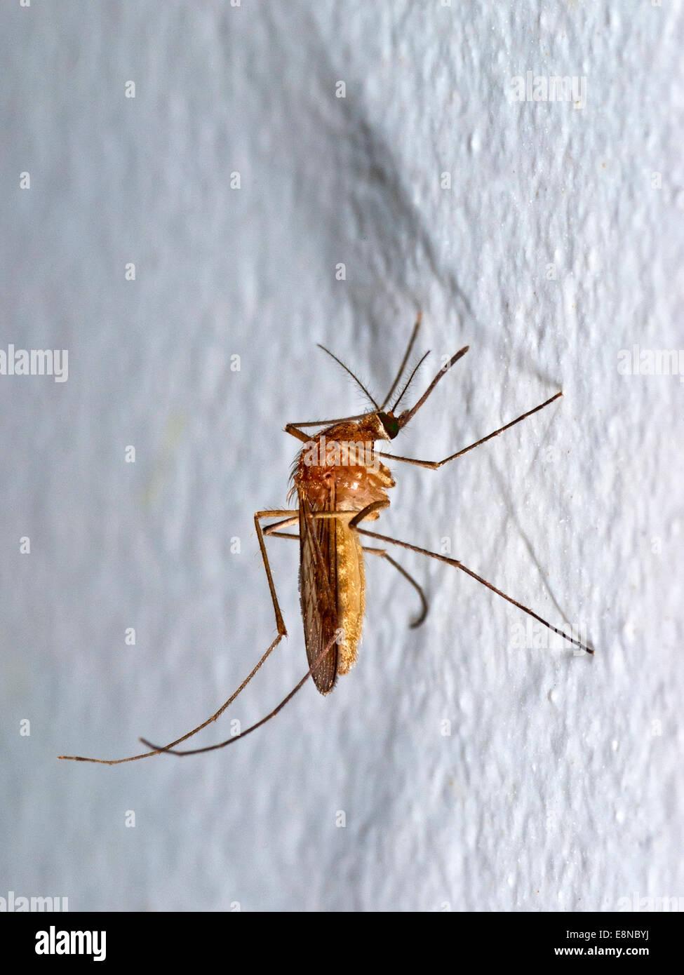 Sur moustique mur blanc Photo Stock