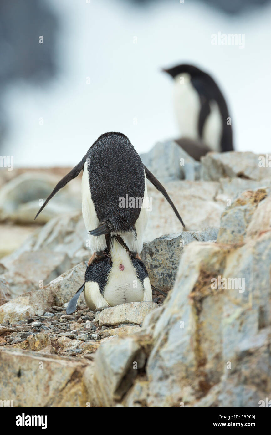 Adelie penguin Pygoscelis adeliae, adultes, l'accouplement en colonie, l'Île Petermann, en Antarctique Photo Stock