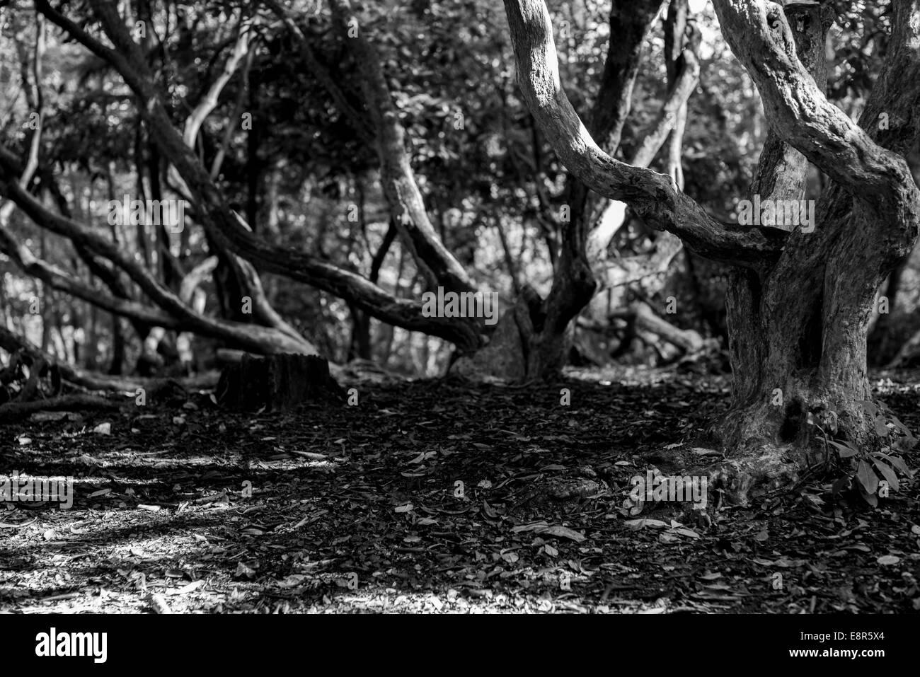 Noir et blanc monochrome d'arbres gnarly torsadée Banque D'Images