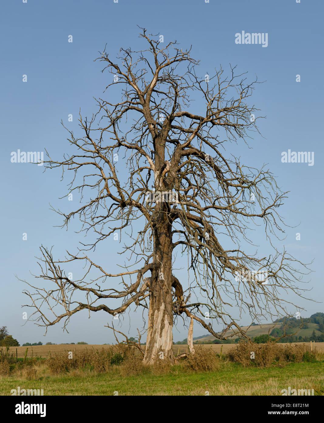 Le marronnier d'âge mûr qui est décédé et est toujours debout dans les champs ouverts Photo Stock