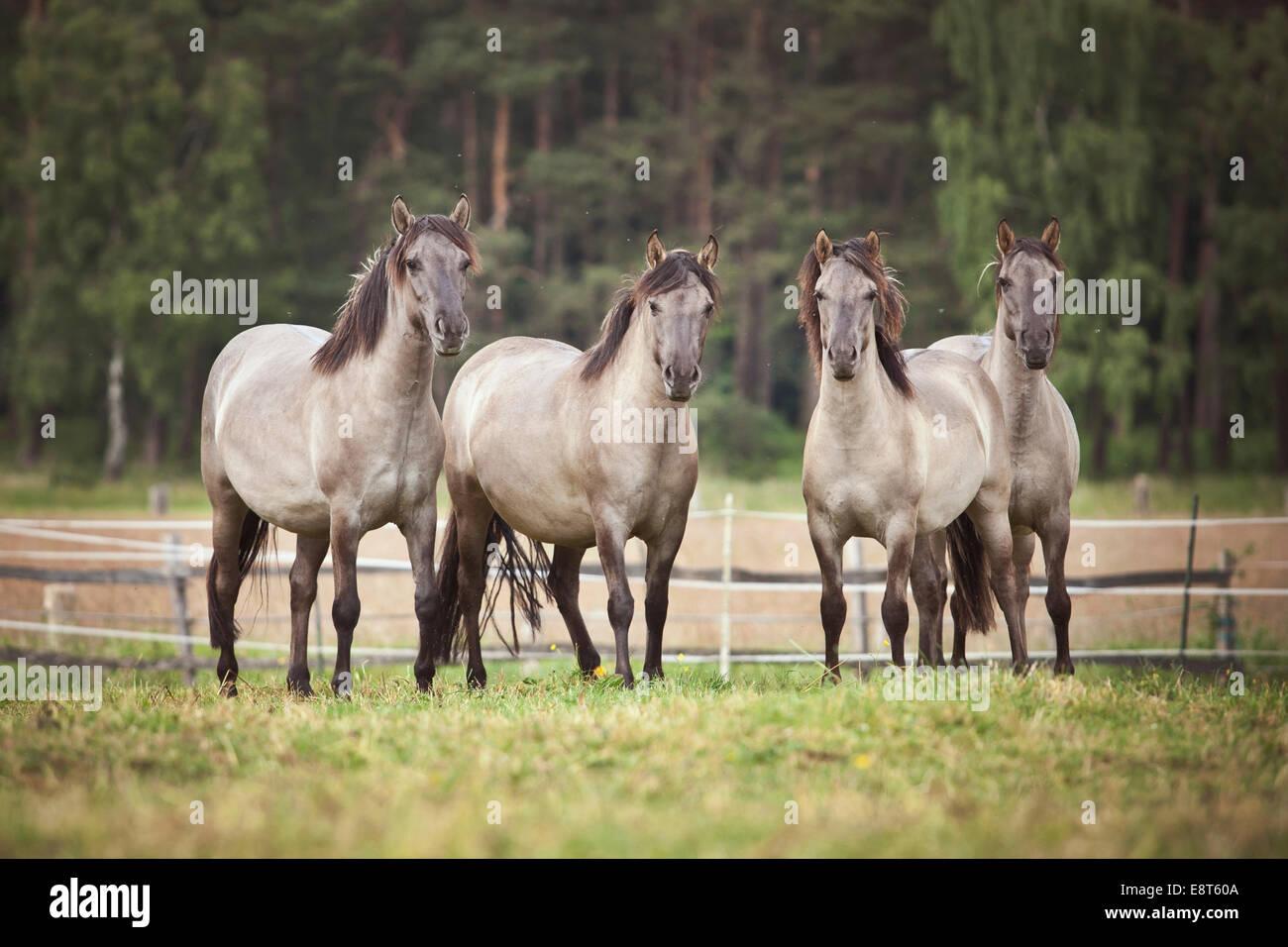 Troupeau de juments, Konik Polonais ou les chevaux sauvages Banque D'Images