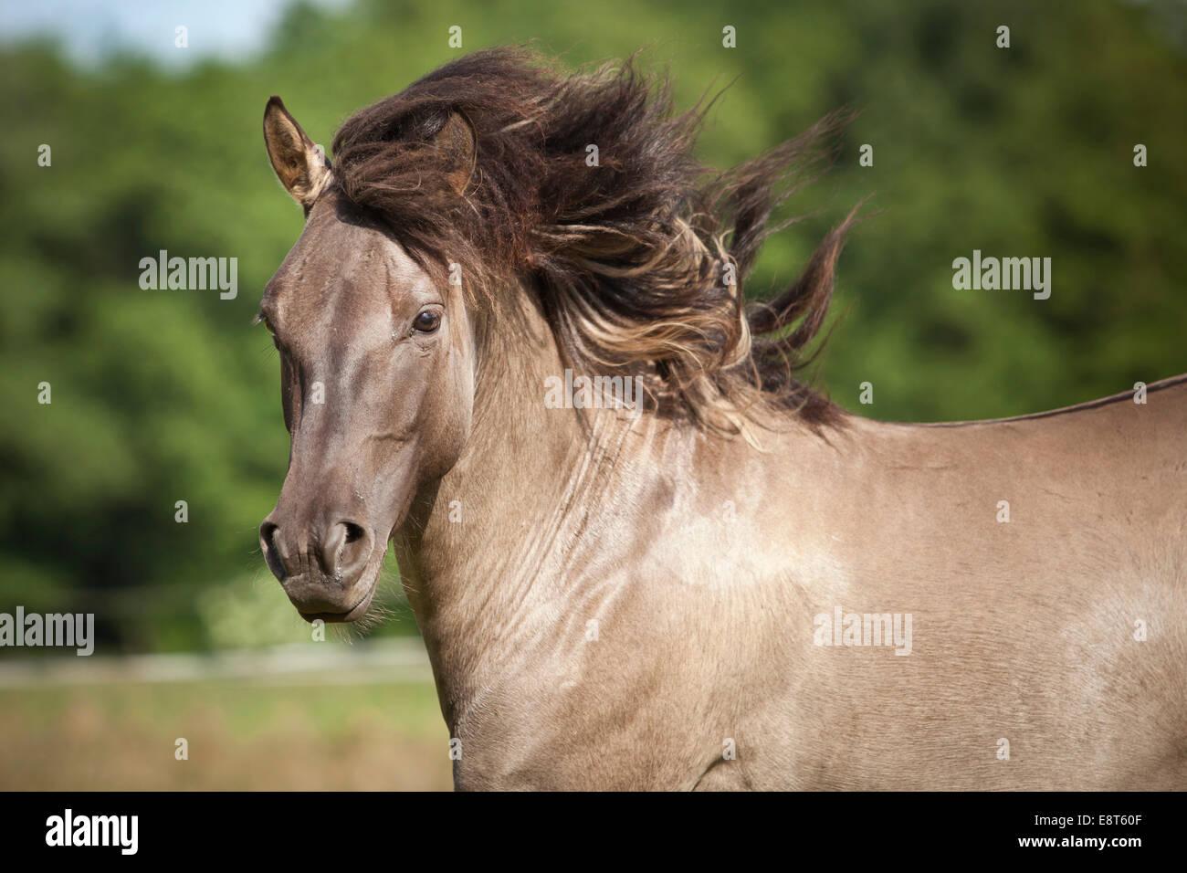 Stallion, Konik polonais ou Wild horse, portrait Banque D'Images