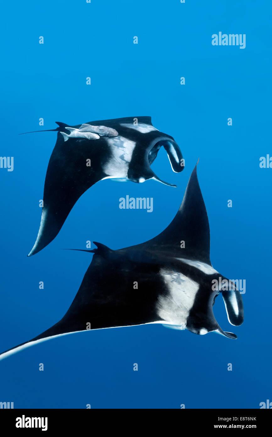 Deux raies manta Reef (Manta alfredi), l'île Cocos, du Costa Rica, du Pacifique Photo Stock