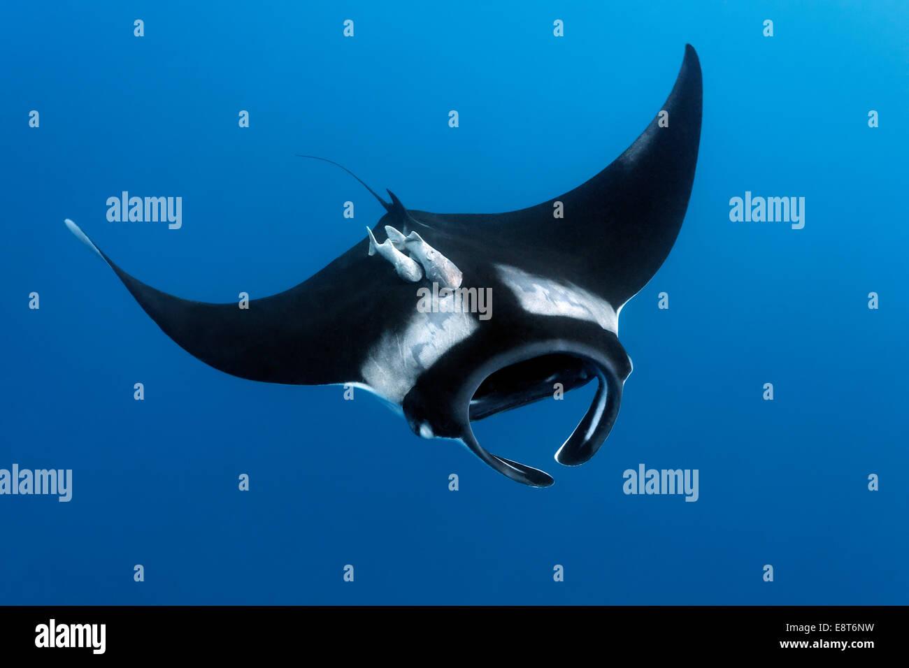 Manta Reef (Manta alfredi), l'île Cocos, du Costa Rica, du Pacifique Photo Stock