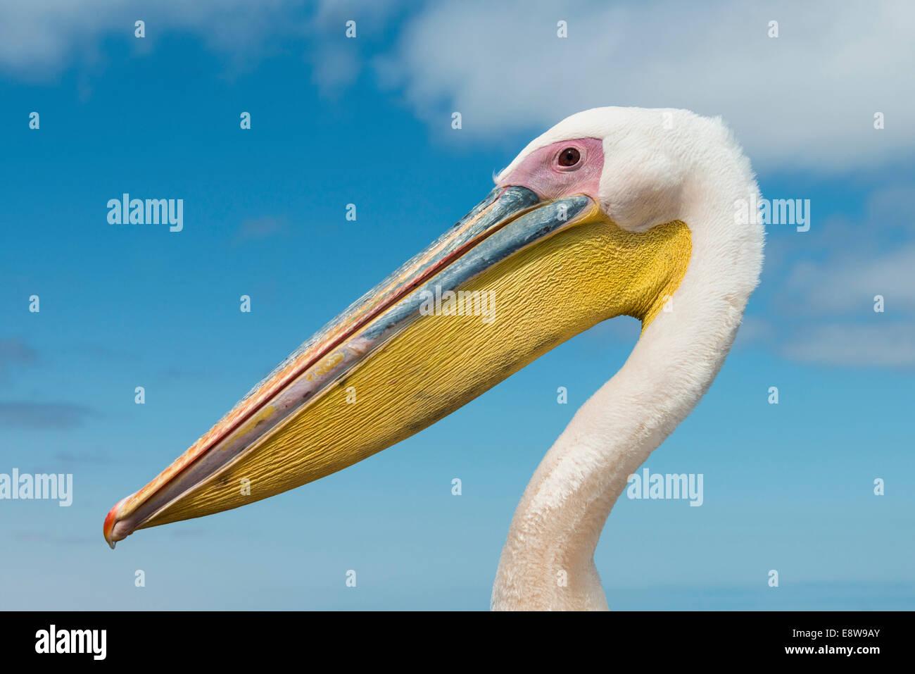 Grand Pélican blanc (Pelecanus onocrotalus), portrait, Walvis Bay, en Namibie Photo Stock