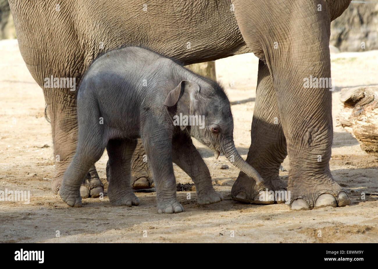 Un bébé éléphant asiatique poursuit en toute transparence au zoo de Twycross Photo Stock