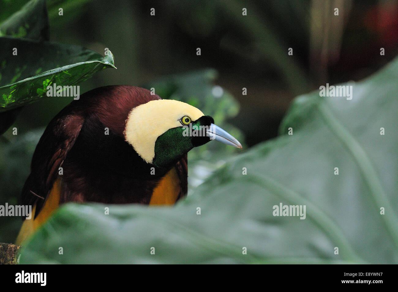Plus de bird-of-paradise, Paradisea apoda, Parasidaeidae uccello del Paradiso, uccelli, Bali, Indonésie Photo Stock