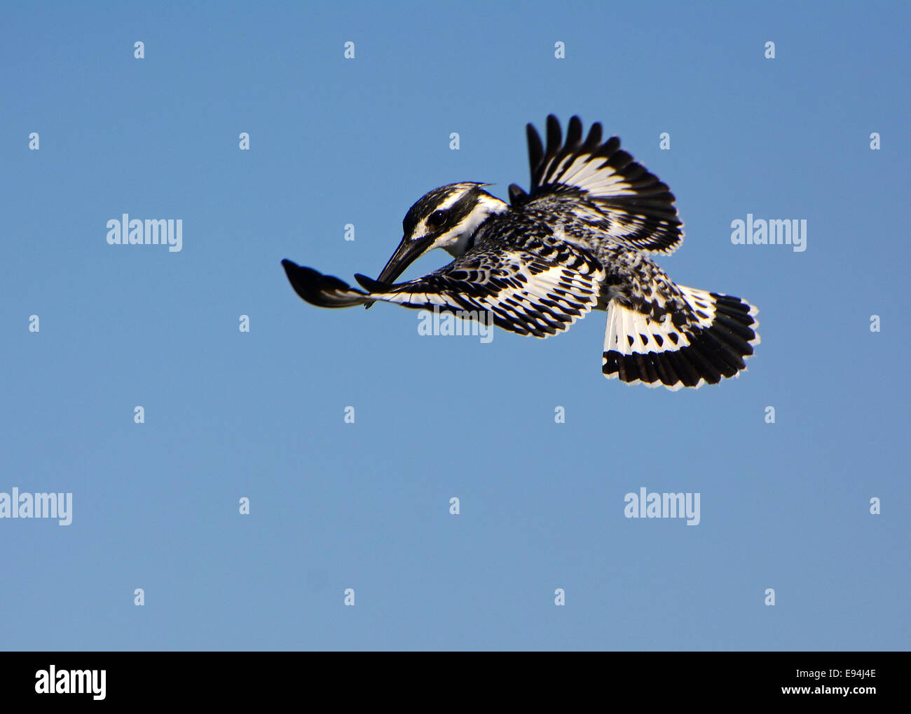 Pied Kingfisher, planant Photo Stock