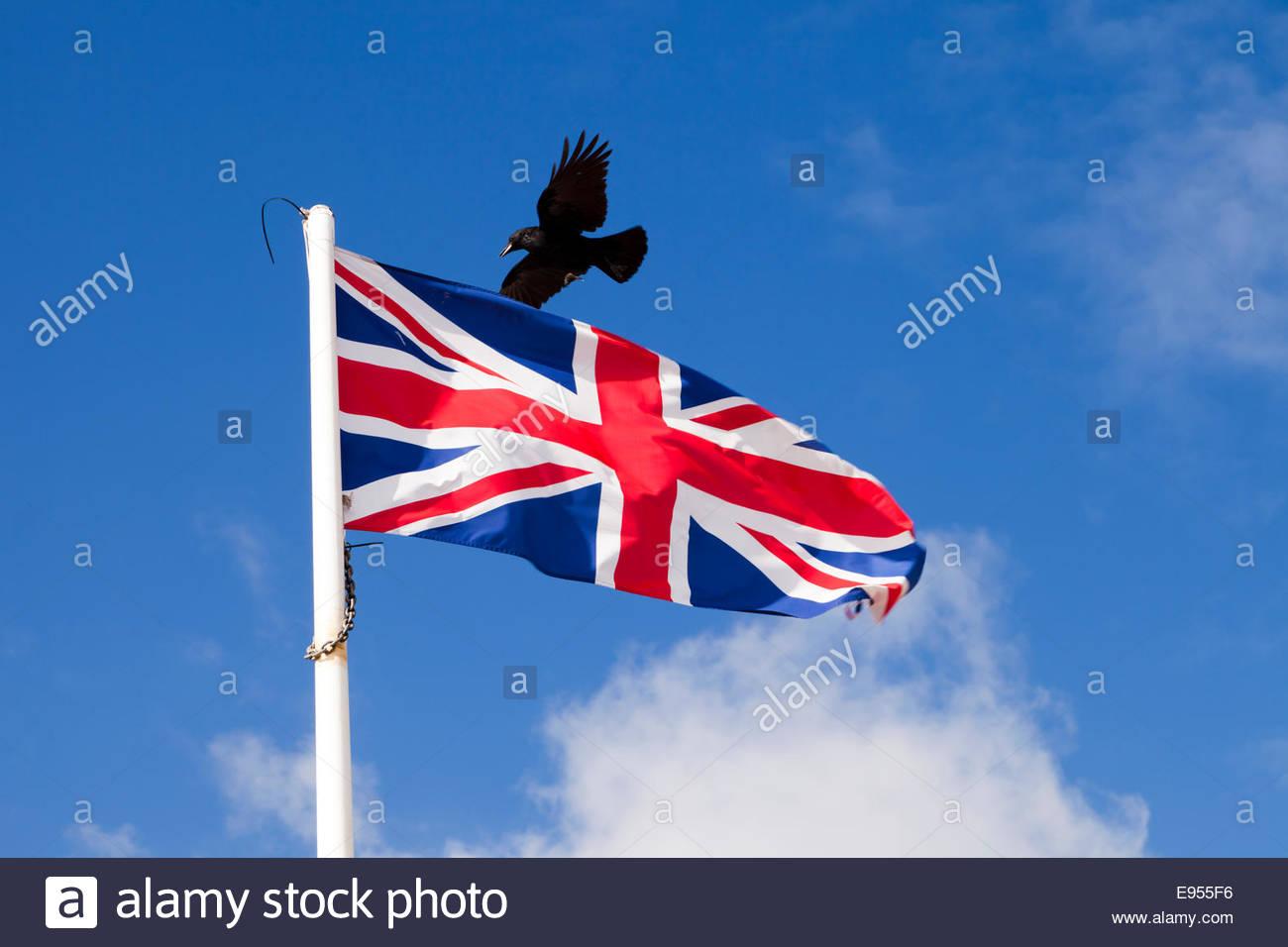 Une corneille survolant voletant union jack flag, sombre menace sinistre concept, contre le ciel bleu. Métaphore Photo Stock