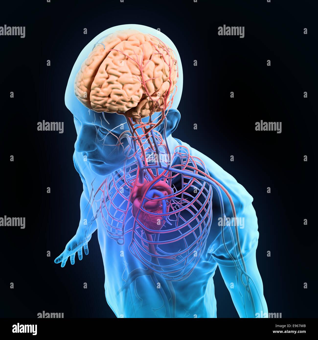Anatomie humaine - illustration des systèmes circulatoires et nerveux central Banque D'Images