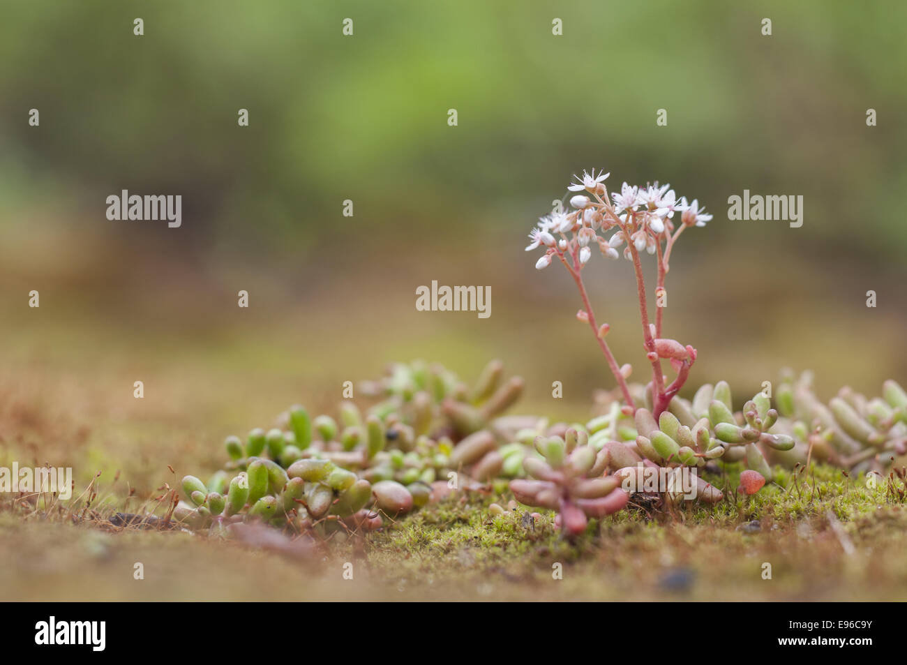 Orpin blanc (Sedum album), Allemagne Photo Stock