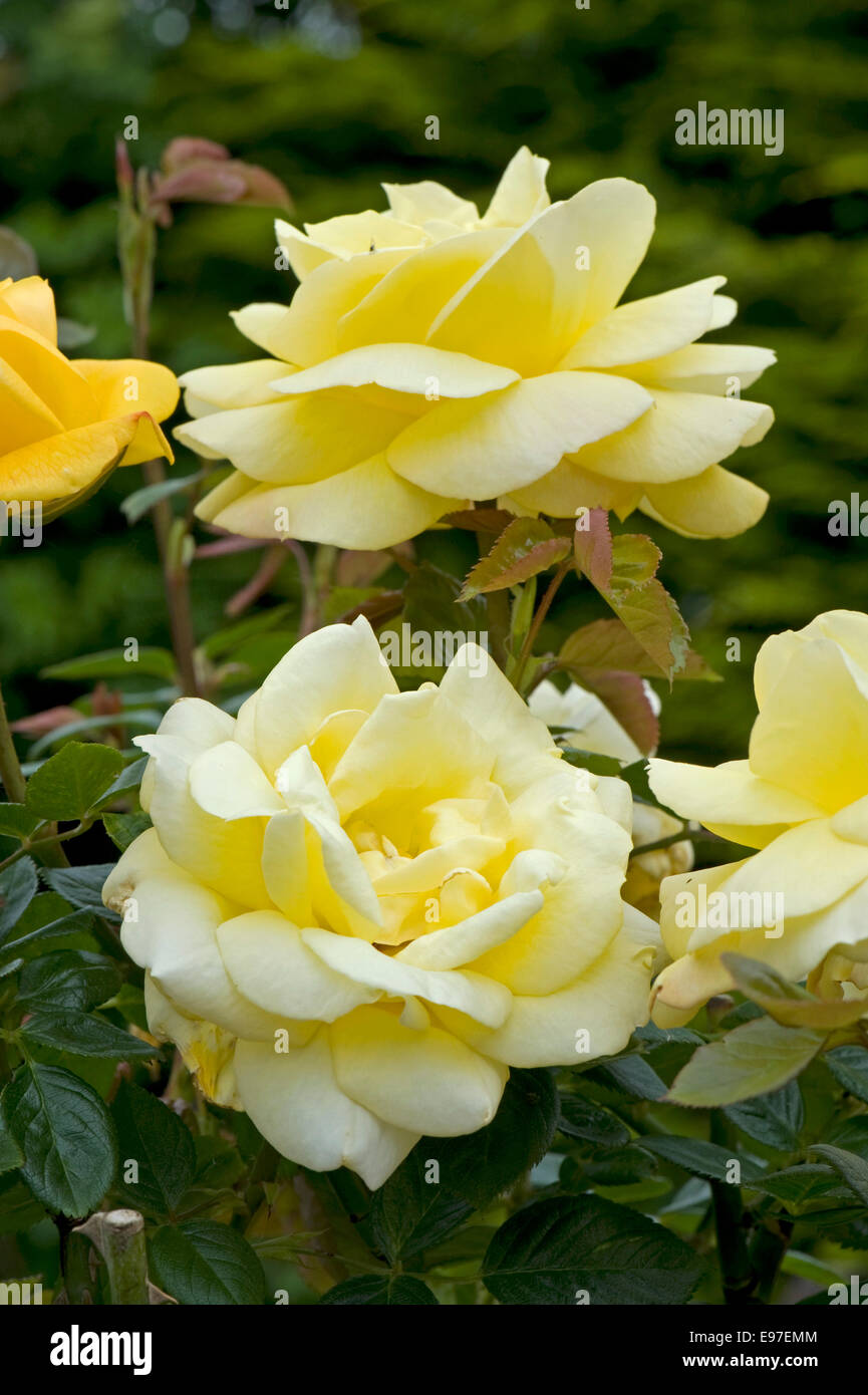 Une norme parfumées rose jaune 'Arthur Bell' en fleurs Photo Stock
