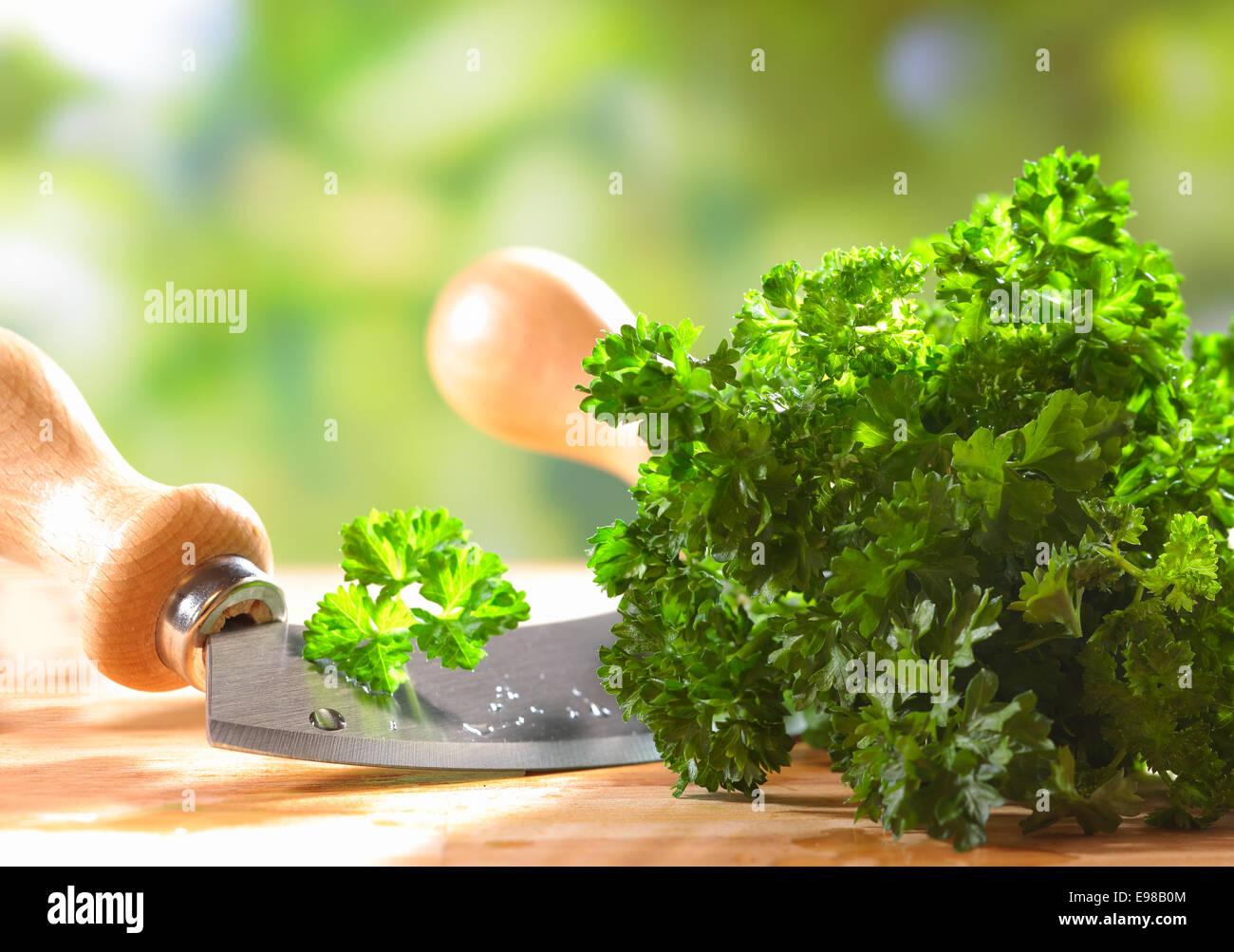 Libre d'un tas de persil plat frais vert crinkly allongé sur une table en bois en plein air avec une lame de couteau Banque D'Images