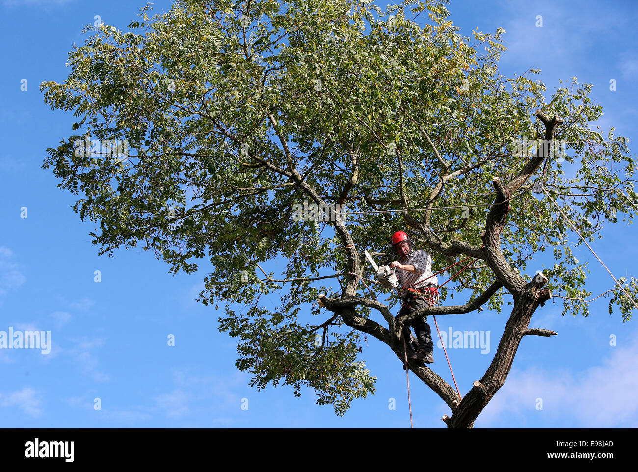 tree surgeon cutting branches photos tree surgeon. Black Bedroom Furniture Sets. Home Design Ideas
