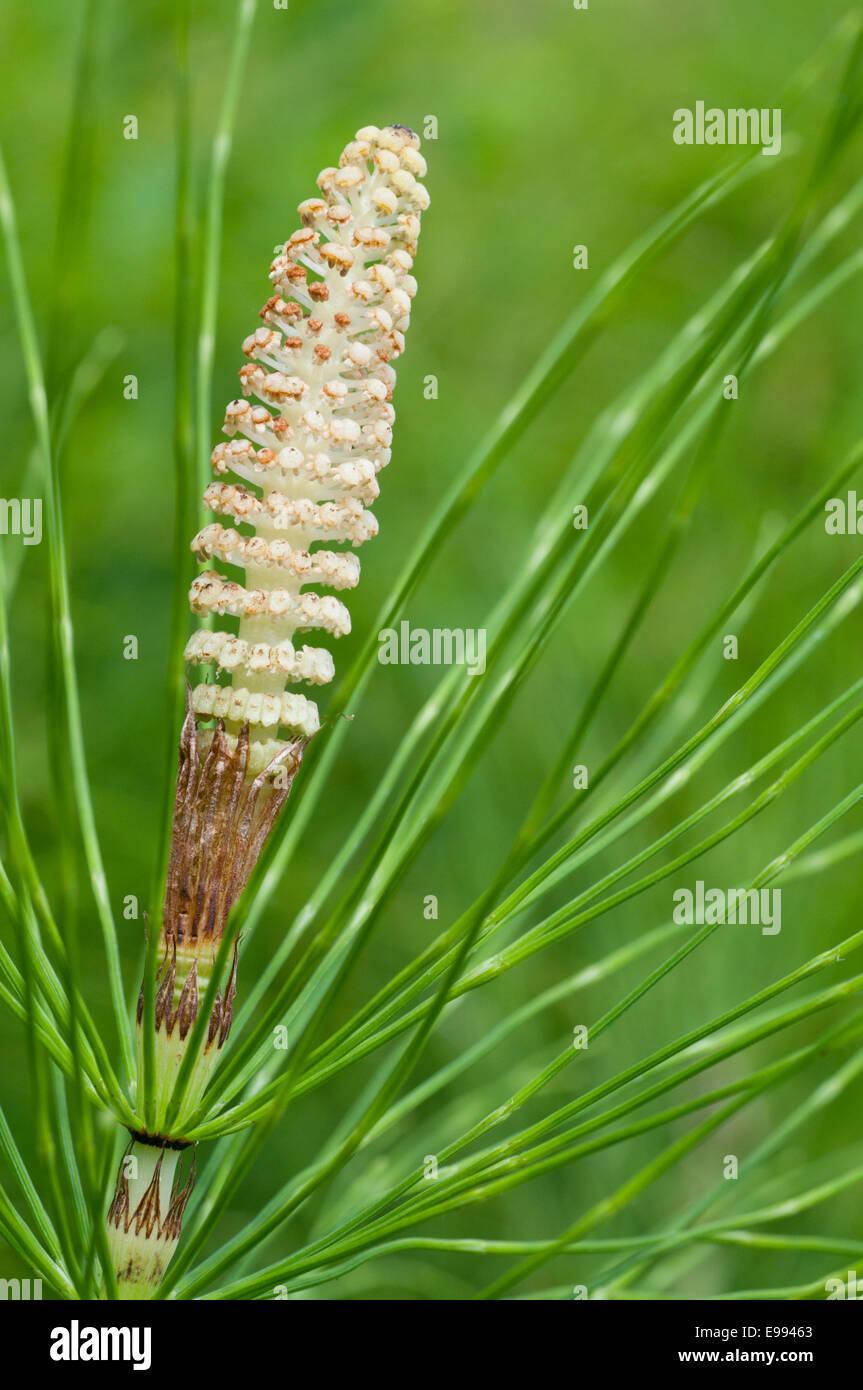 """La """"fleur"""" -- d'une prêle strobiles prises à Cheshunt, Herts montrant également les feuilles de cette plante Banque D'Images"""