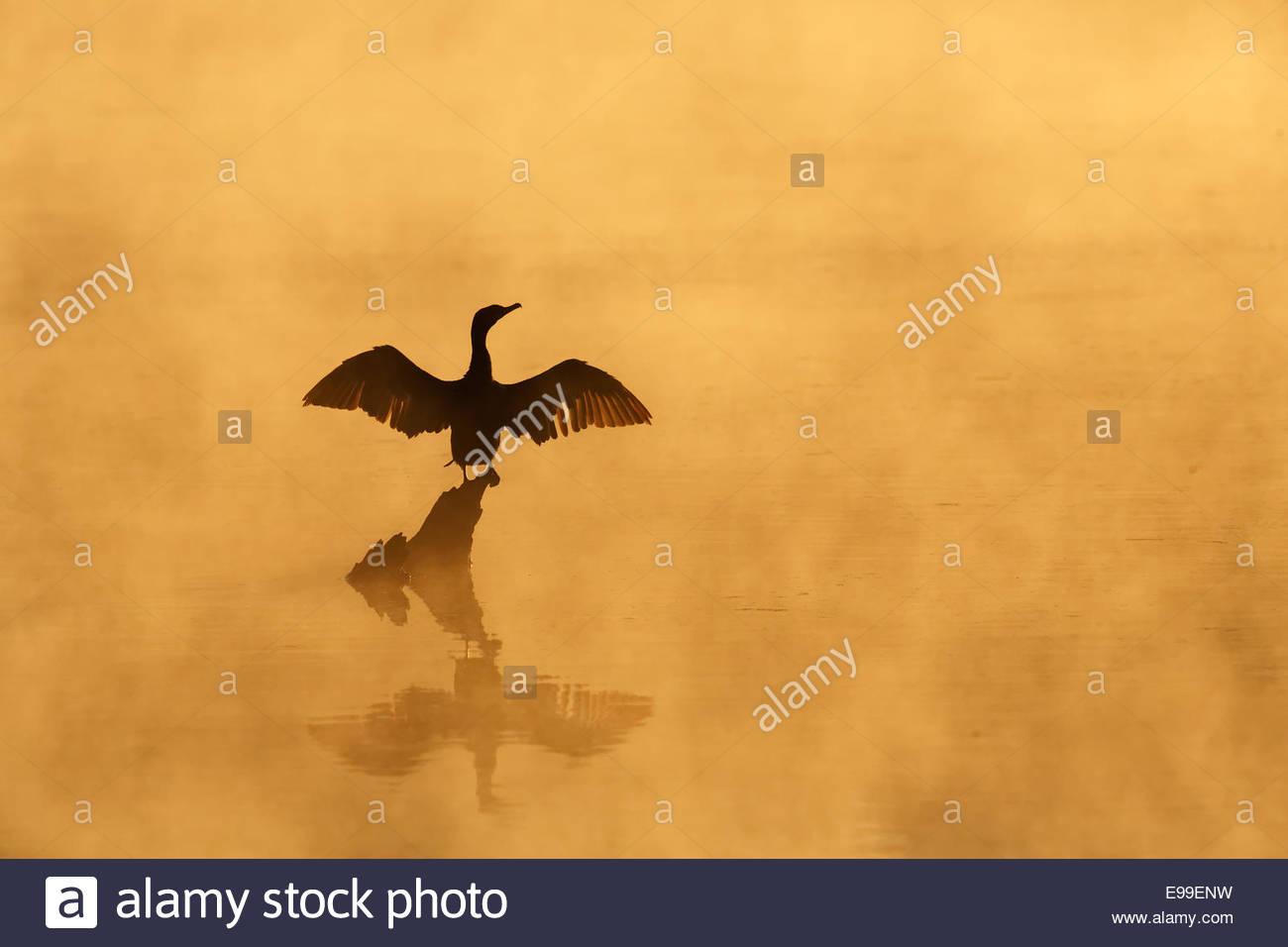 Cormoran à aigrettes (Phalacrocorax auritus) ailes de séchage au lever du soleil dans le brouillard Photo Stock