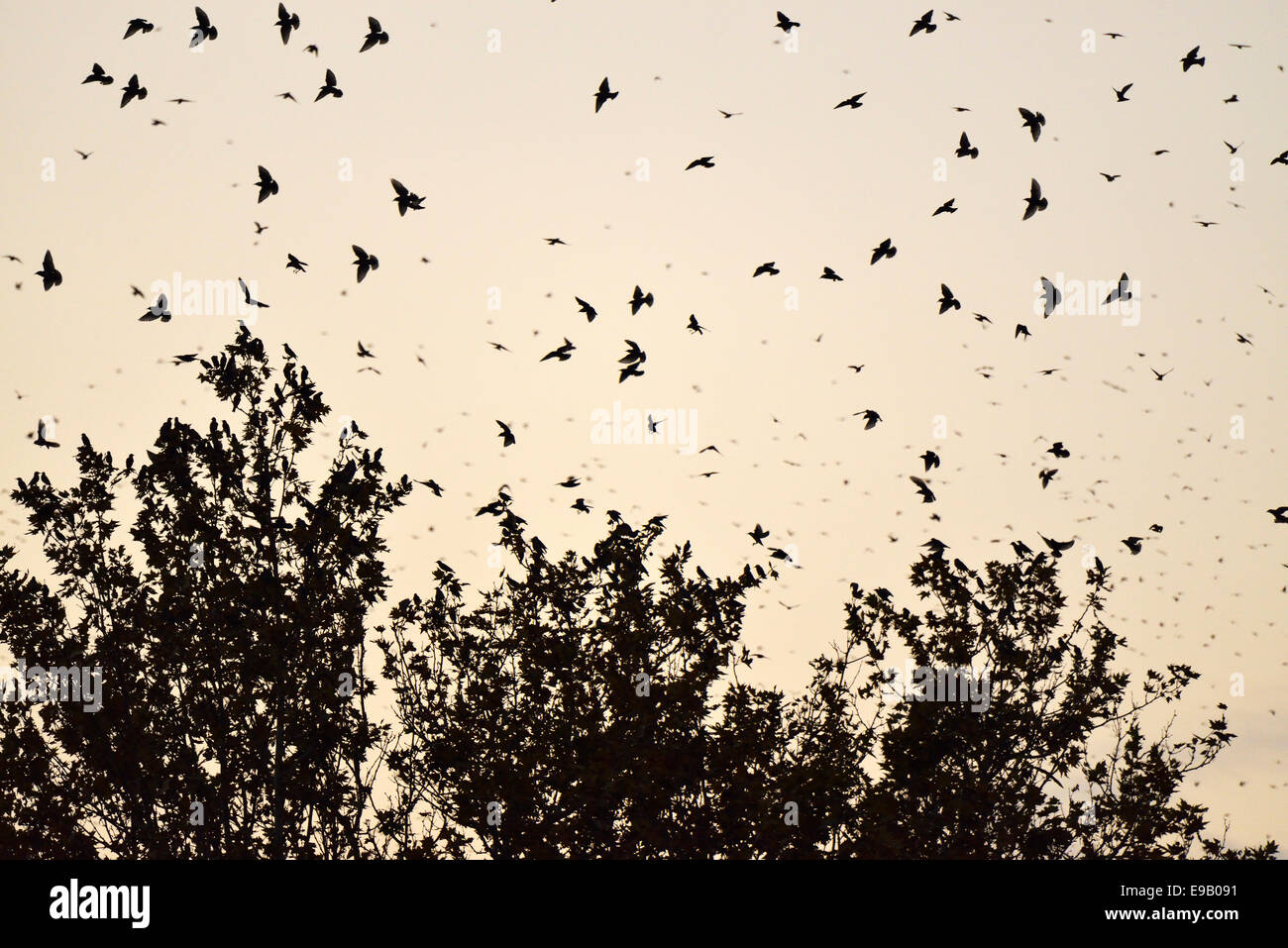 Troupeau d'oiseaux, de l'Étourneau sansonnet (Sturnus vulgaris) à l'égard de leur arbre Photo Stock