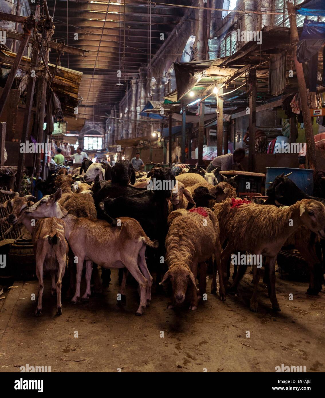 Moutons prêts à être tués dans un abattoir. Nouveau Marché, Kolkata, West Bengal, India Photo Stock