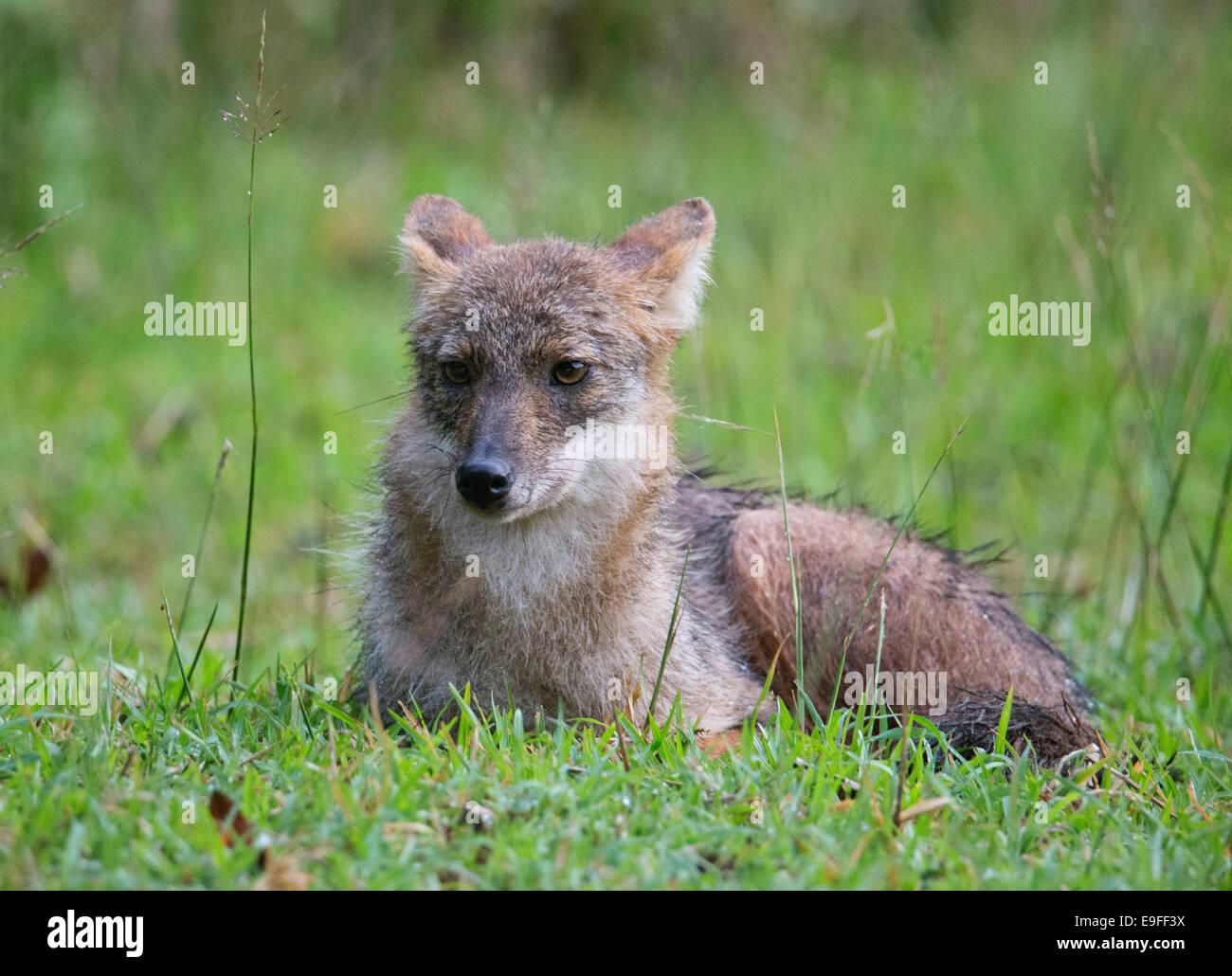 Le Chacal (Canis aureus siamois cruesemanni), une sous-espèce de chacal doré, Huai Kha Khaeng Wildlife Sanctuary, Thaïlande Banque D'Images