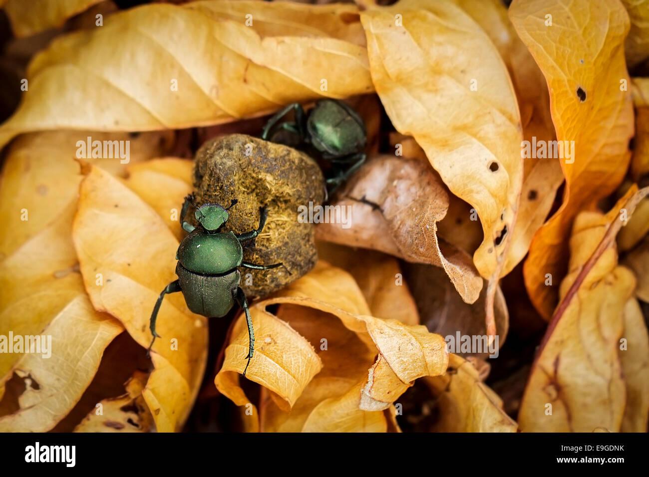 Homme et femme Les bousiers africains dung roulant ensemble par la litière de couleur or, en Zambie Photo Stock