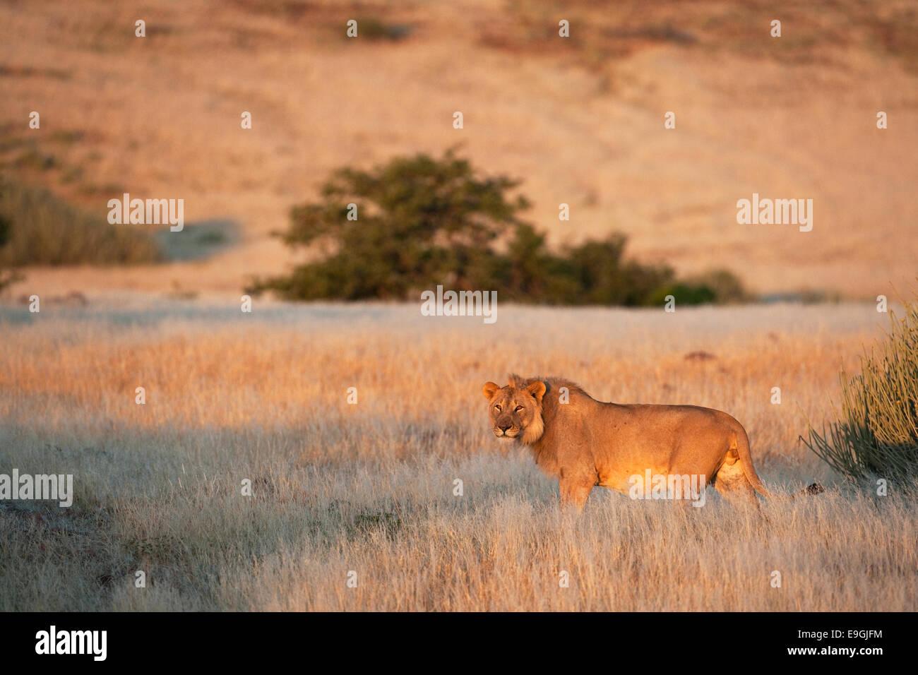 Desert lion, Panthera leo, jeune homme, la région de Kunene, Namibie, Afrique Banque D'Images