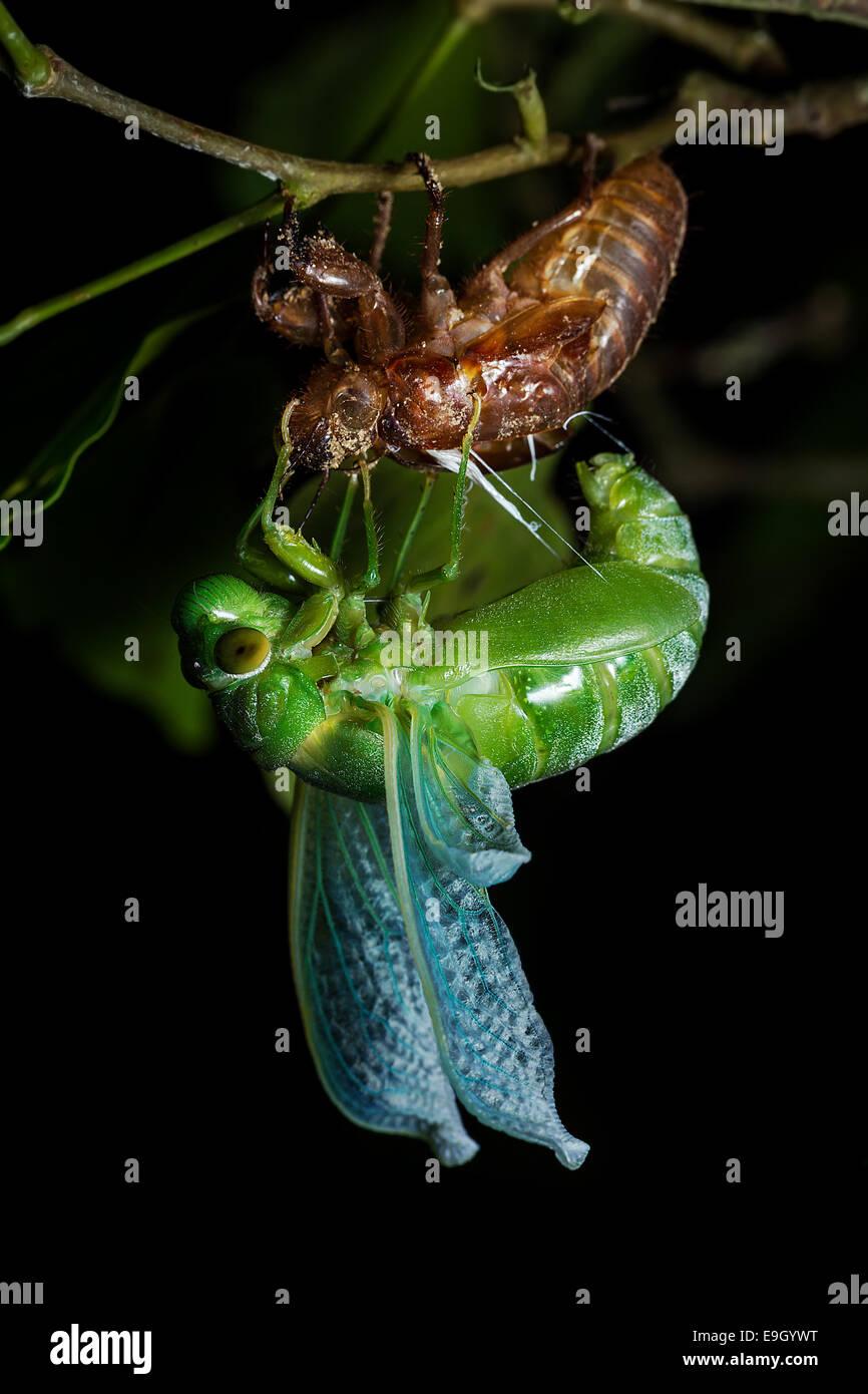 Cigale vert jade (Dundubia vaginata). Les jambes saisir l'exuvie car elle arches son corps vers l'avant Photo Stock