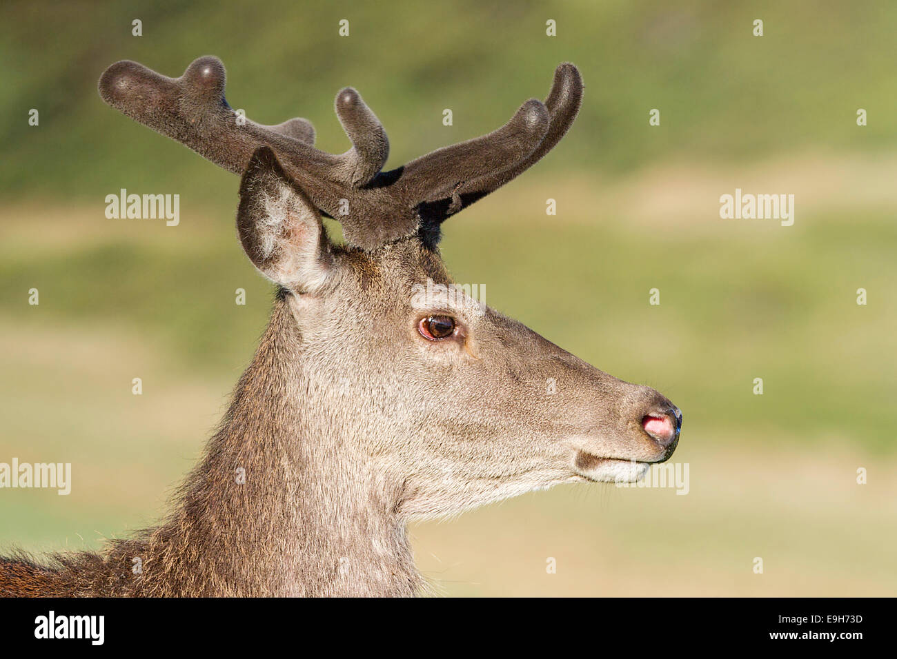 Close-up profil d'un wild Red Deer (Cervus elaphus) stag en velvet Banque D'Images