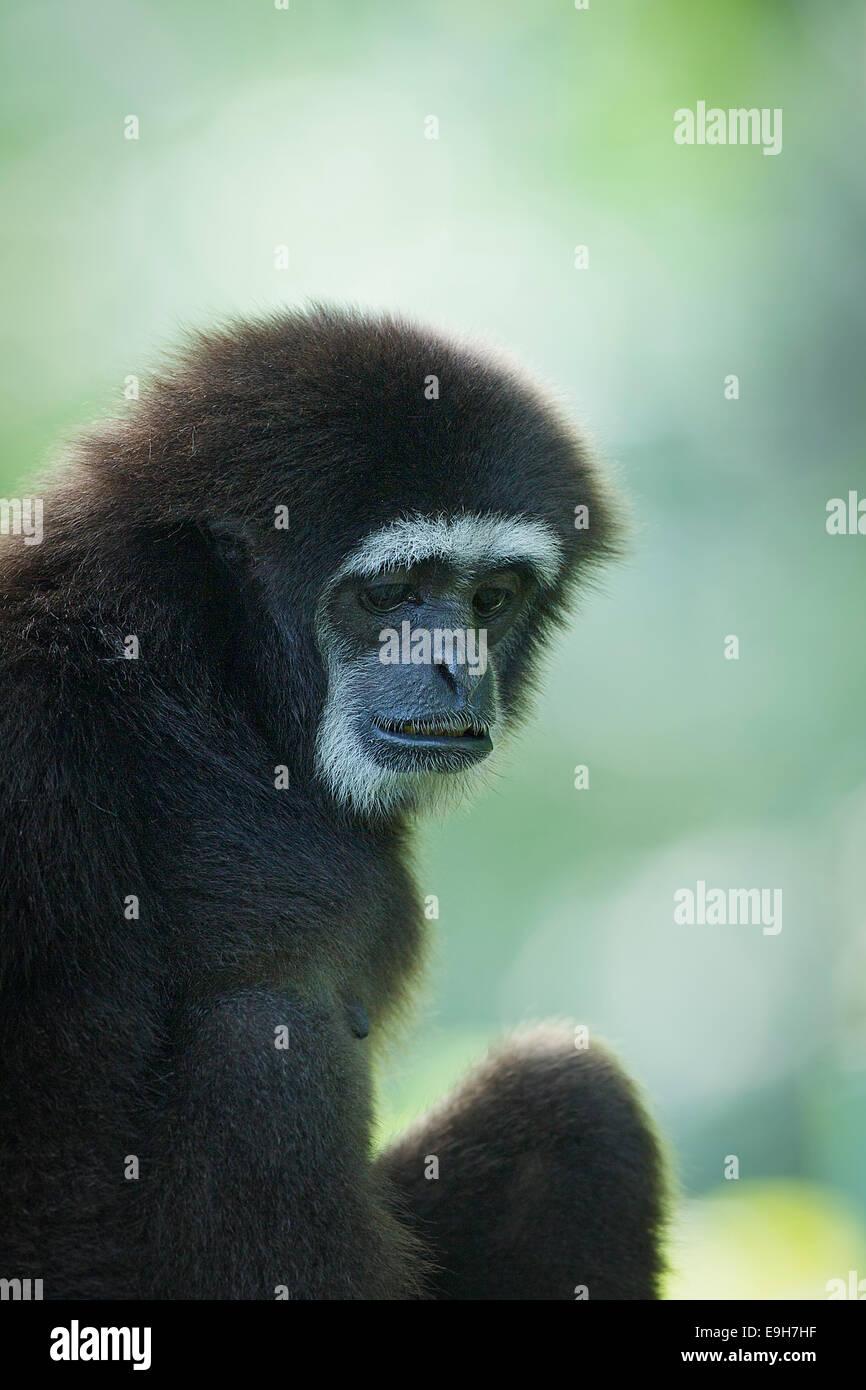 Les mains blanches en captivité Gibbon (Hylobates lar) au Zoo de Singapour Photo Stock