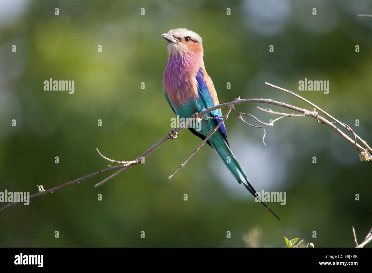 Lilac Breasted Roller Photo Stock