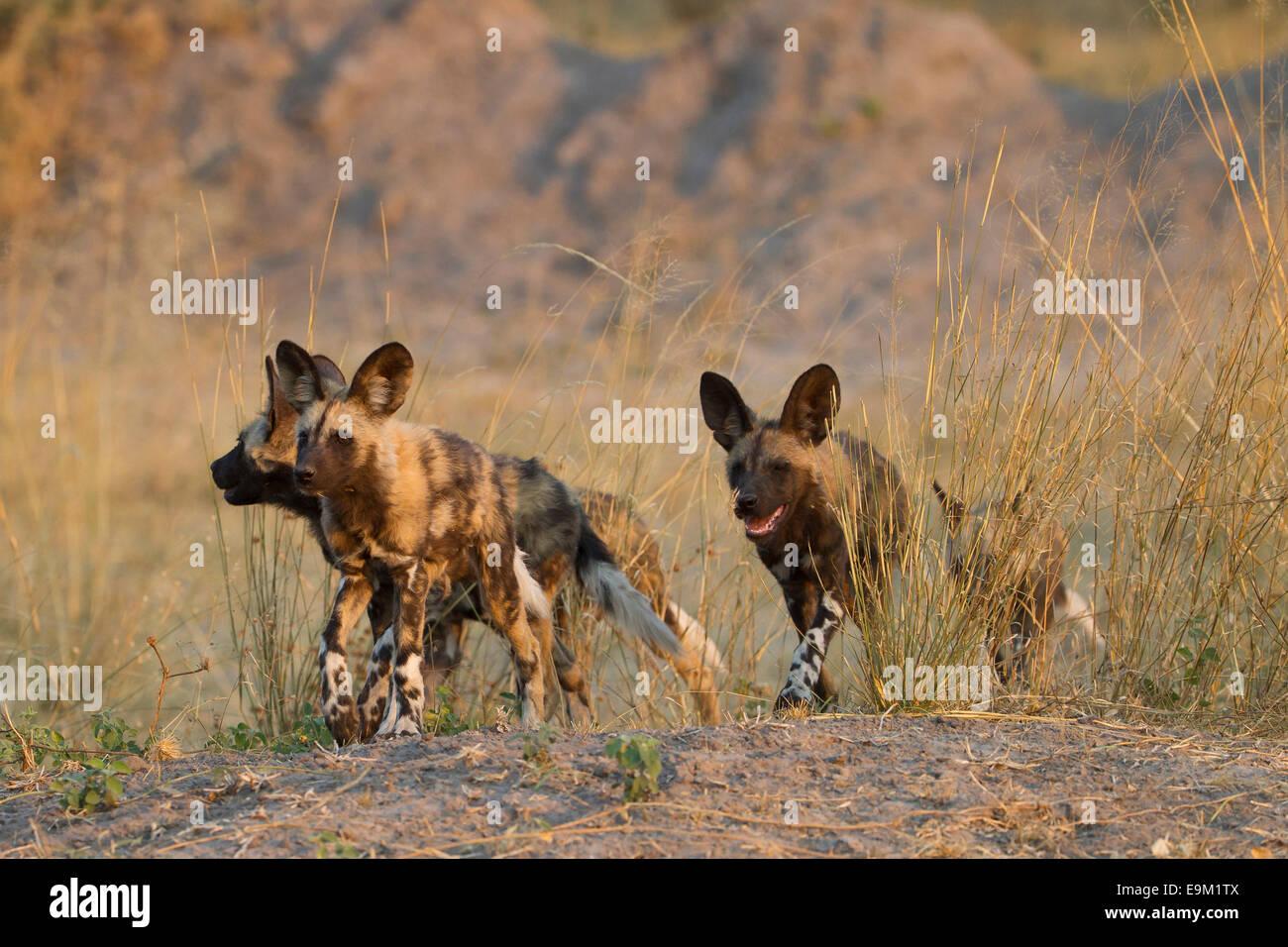 Les chiens sauvages de partir à la chasse au Botswana Banque D'Images