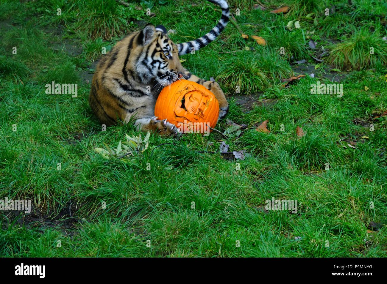 Londres, Royaume-Uni. 30Th Oct, 2014. ZSL London Zoo's fête Halloween en donnant aux résidents traite Photo Stock