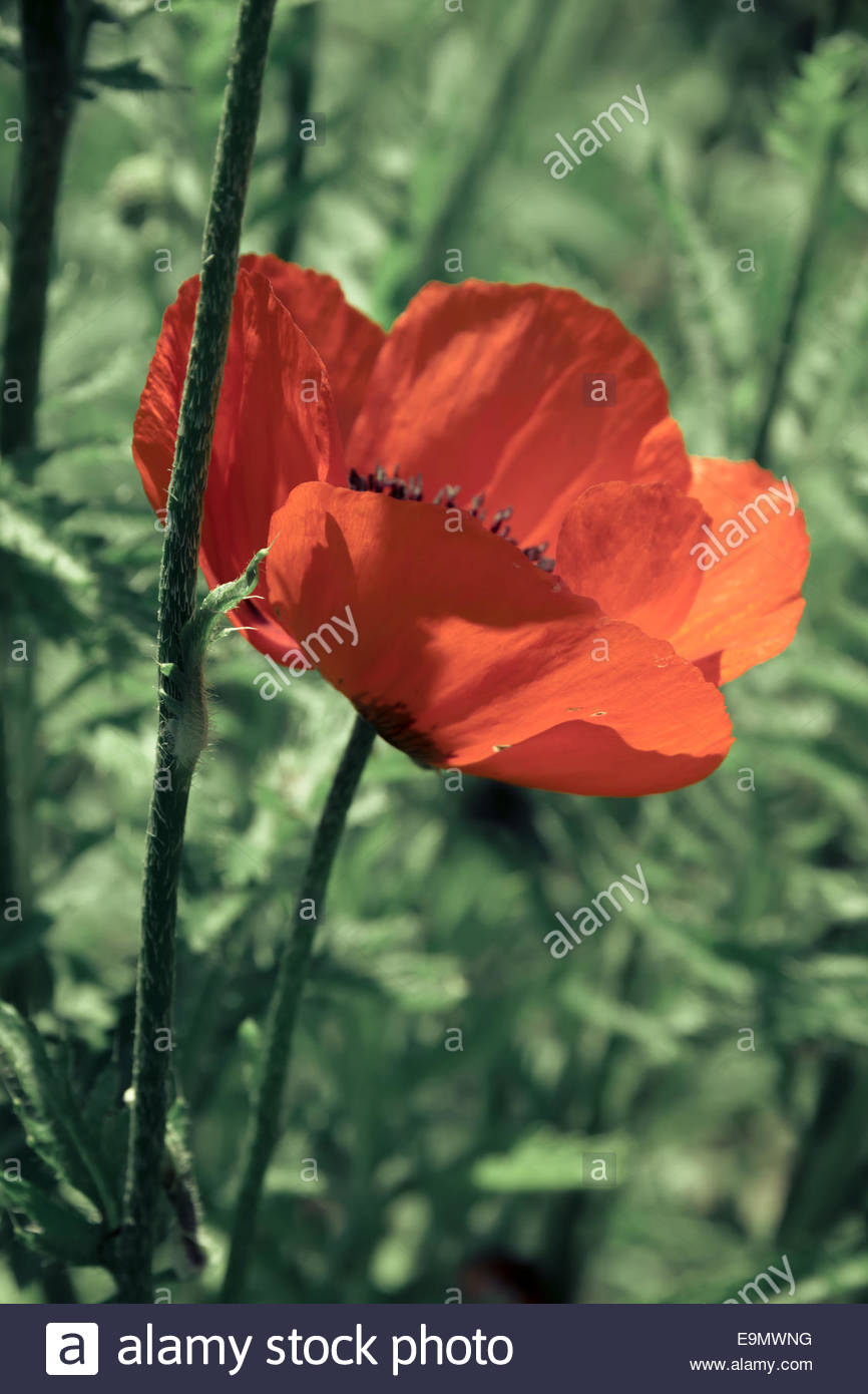Coquelicot en fond vert Photo Stock