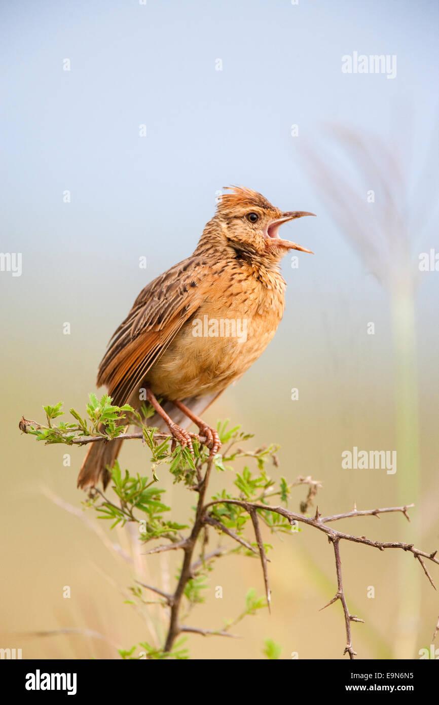 Rufousnaped, lark Mirafra africana, chant, Ithala game reserve, Kwazulu Natal, Afrique du Sud Photo Stock
