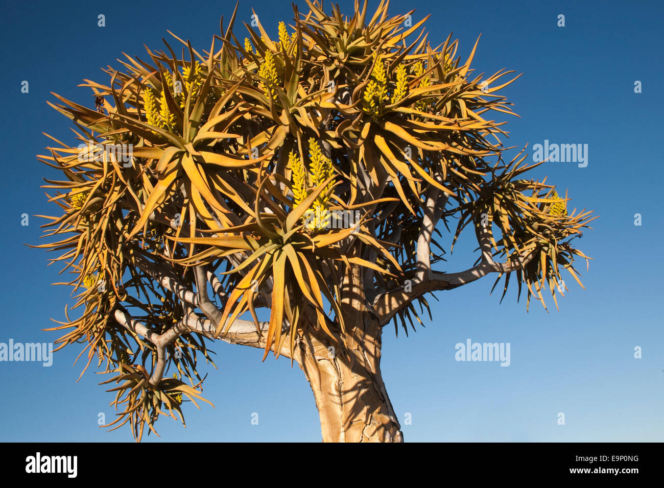 Quiver Tree in Flower, Aloe dichotoma, Quiver Tree Forest, Keetmanshoop, Namibie, Afrique du Sud Photo Stock