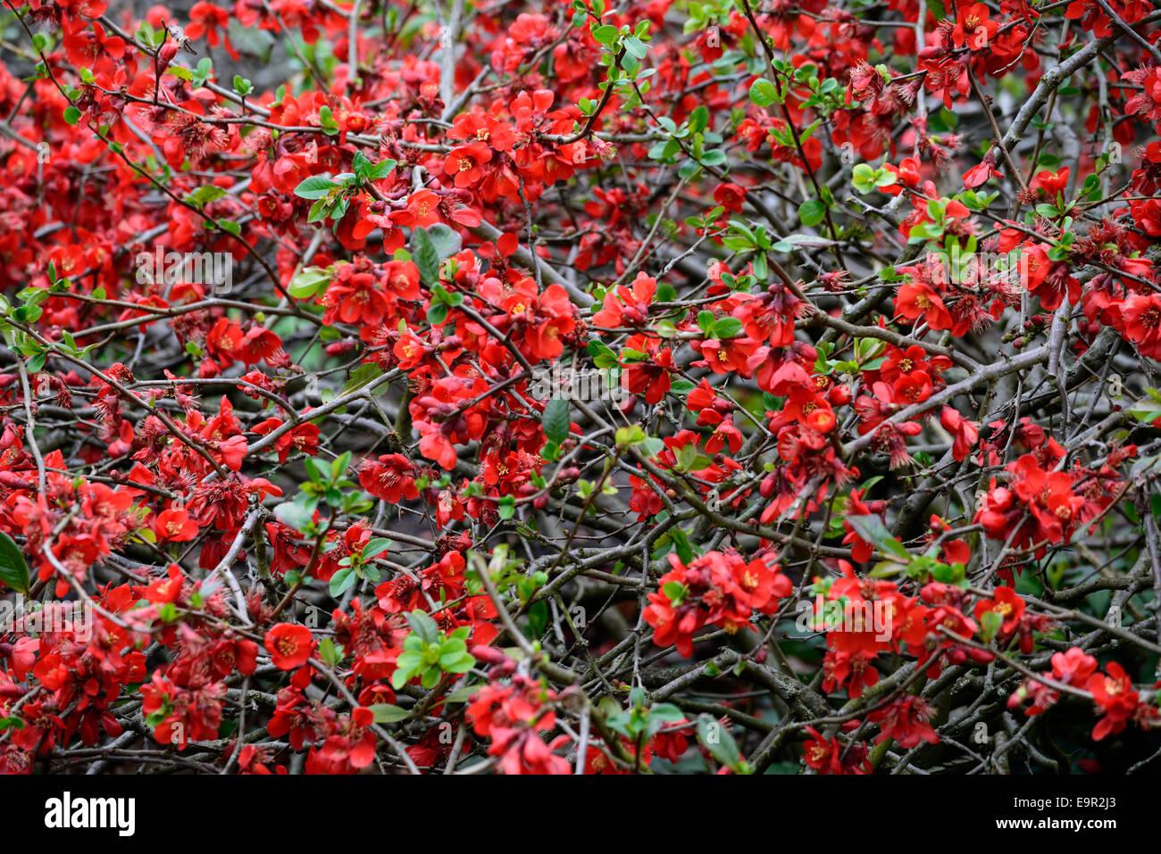 Chaenomeles Superba Boule De Feu Flowering Quince Hardy Cultivar