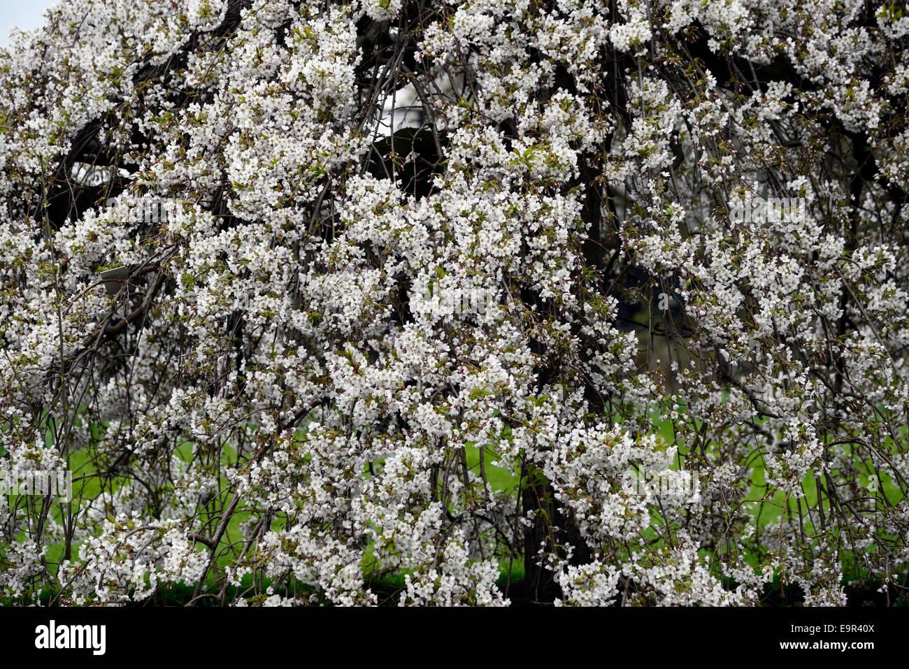Prunus Subhirtella Pendula Var Rosea Cerisier Blanc Fleur Fleur