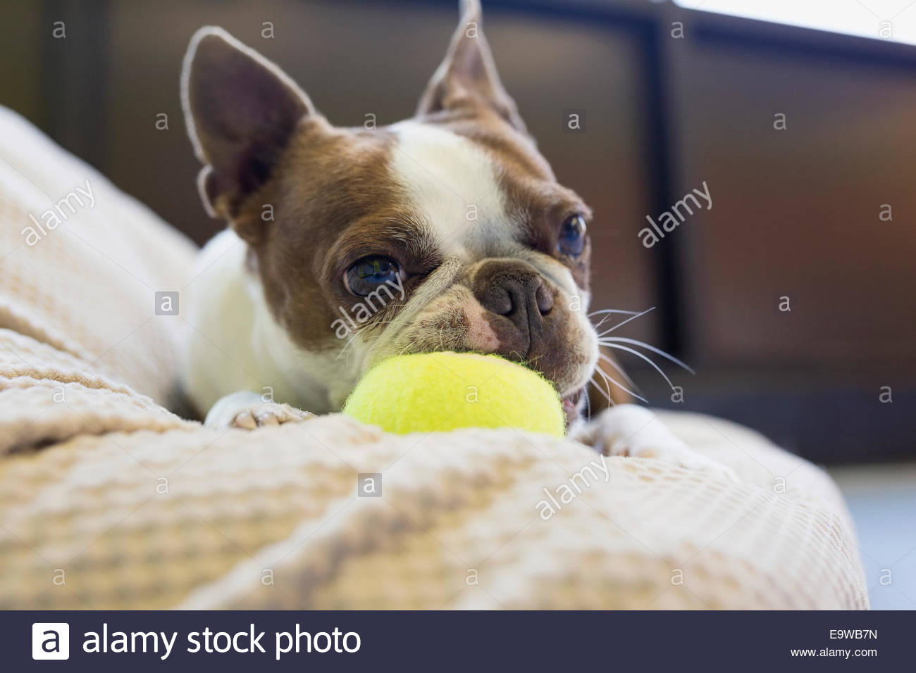 Boston Terrier de mâcher de la balle de tennis Photo Stock