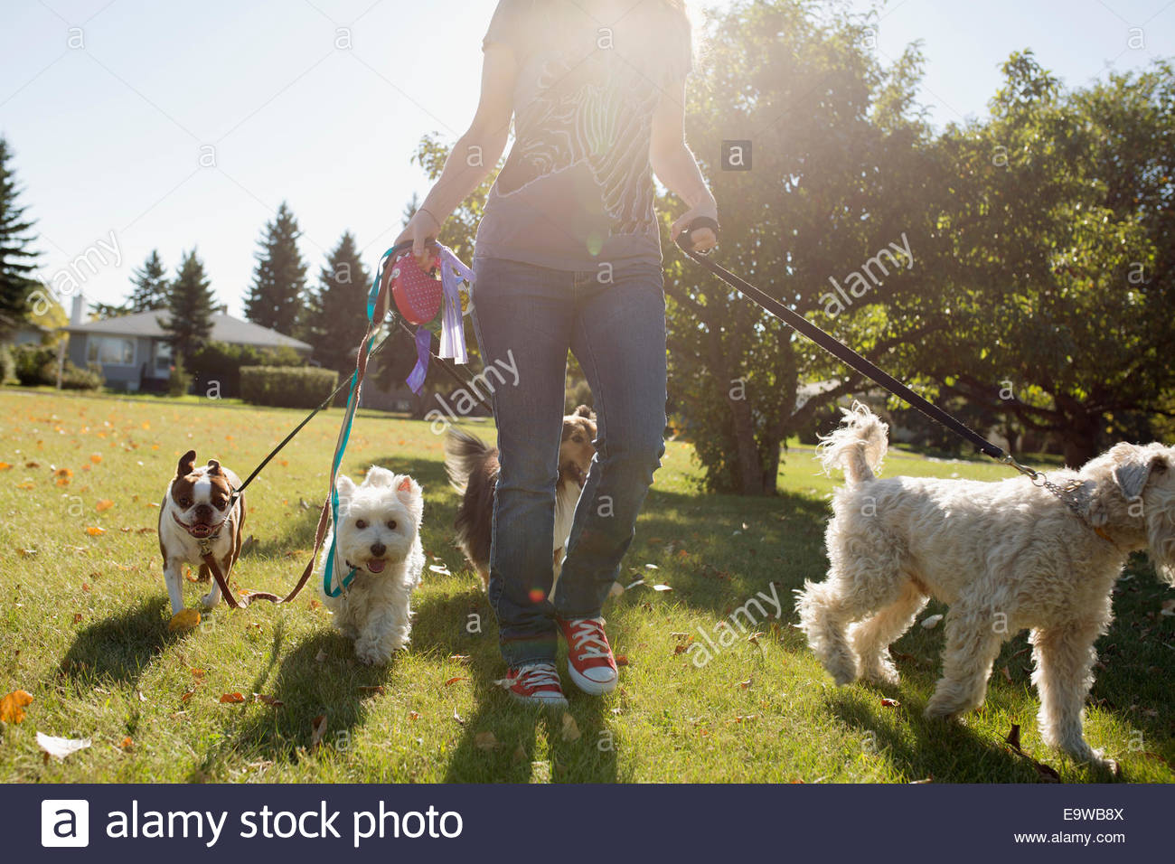 Woman walking dogs in sunny park Photo Stock
