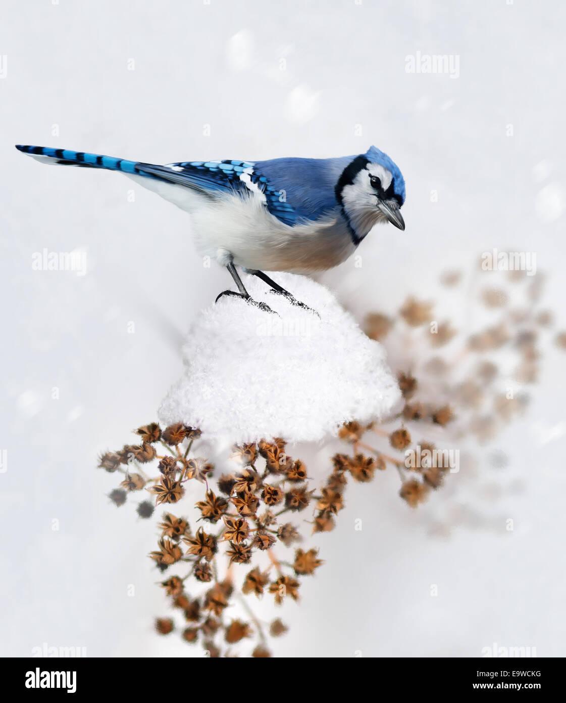 Peinture numérique de geai bleu en hiver Photo Stock