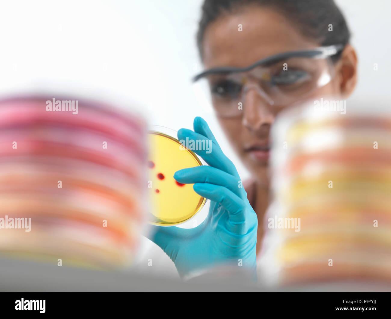 Close up of female scientist examining petri dans les cultures en laboratoire de microbiologie Photo Stock
